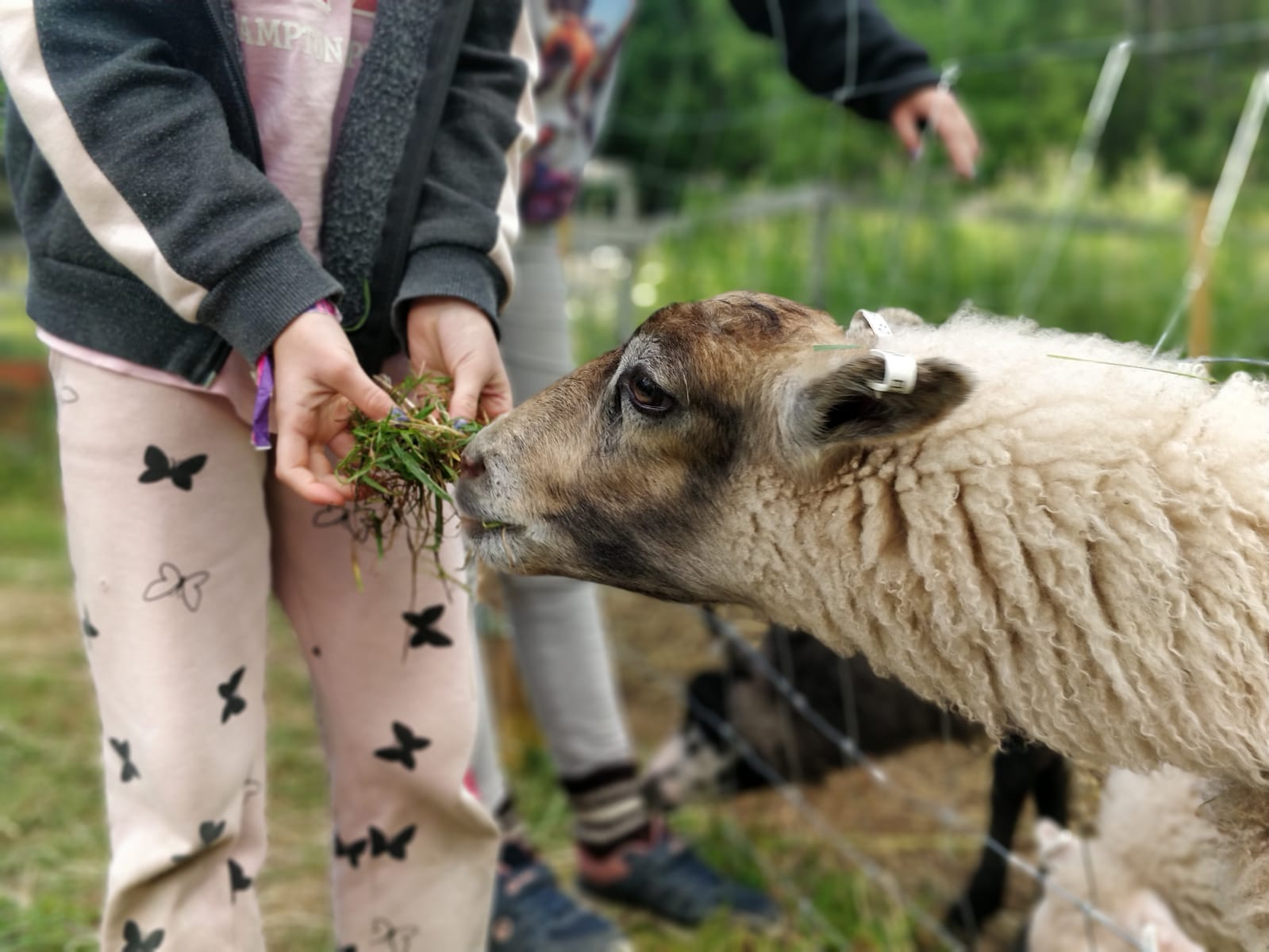 Lammasaitauksilla lapsi syöttämässä lammasta